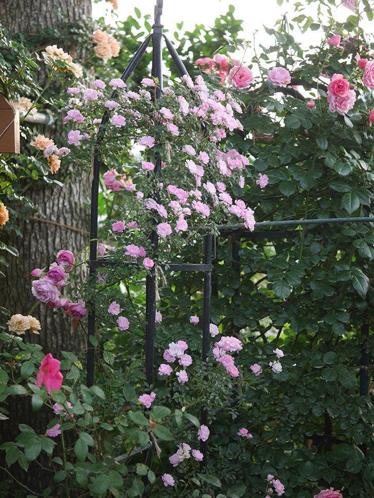 舞姫(ツルミニバラ)の花が満開になった。2020年-036.jpg
