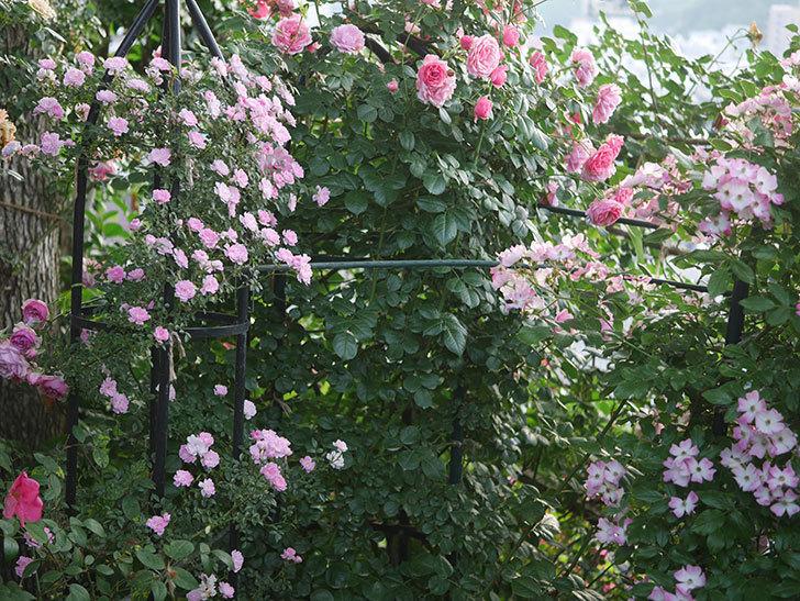 舞姫(ツルミニバラ)の花が満開になった。2020年-038.jpg