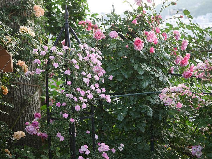舞姫(ツルミニバラ)の花が満開になった。2020年-039.jpg