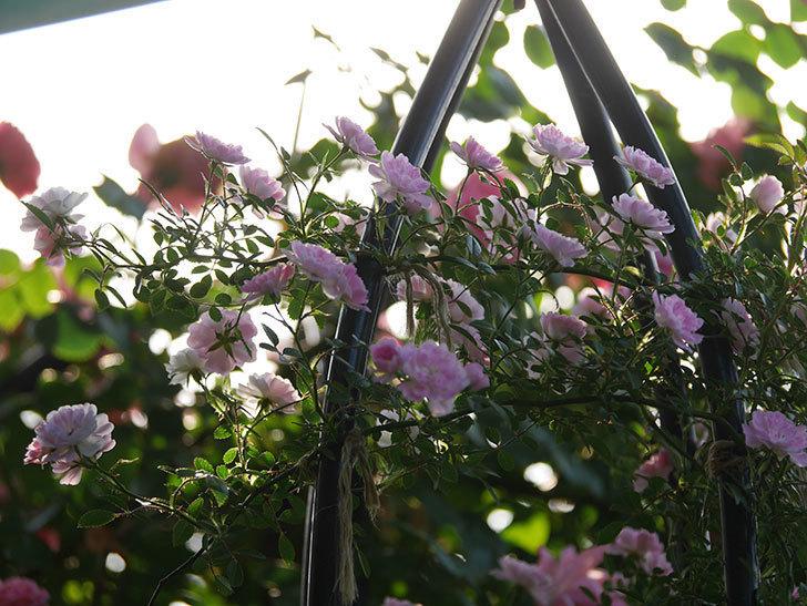舞姫(ツルミニバラ)の花が満開になった。2020年-040.jpg