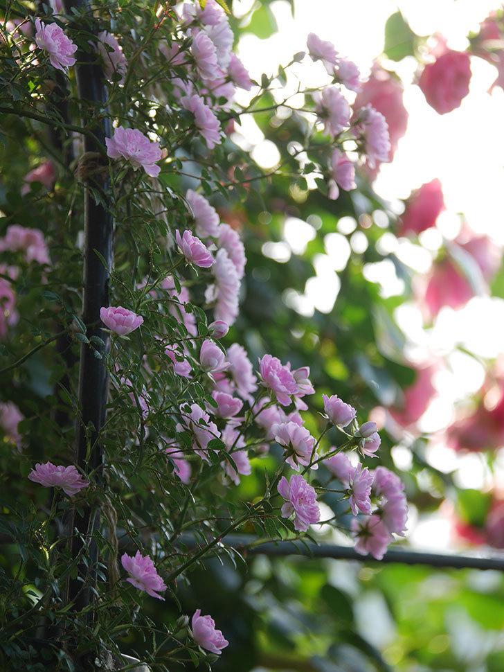 舞姫(ツルミニバラ)の花が満開になった。2020年-041.jpg