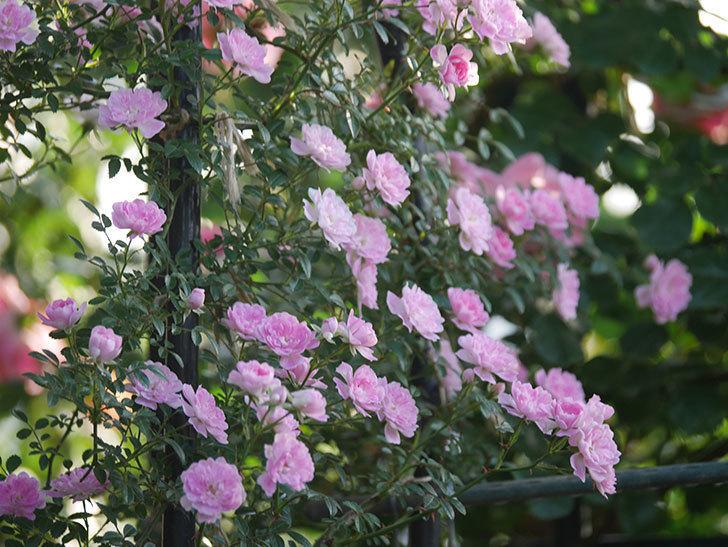 舞姫(ツルミニバラ)の花が満開になった。2020年-042.jpg