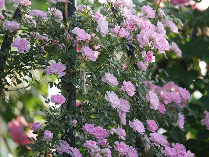 舞姫(ツルミニバラ)の花が満開になった。2020年-043.jpg
