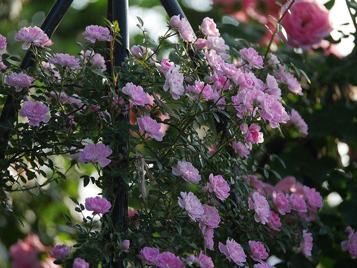 舞姫(ツルミニバラ)の花が満開になった。2020年-044.jpg
