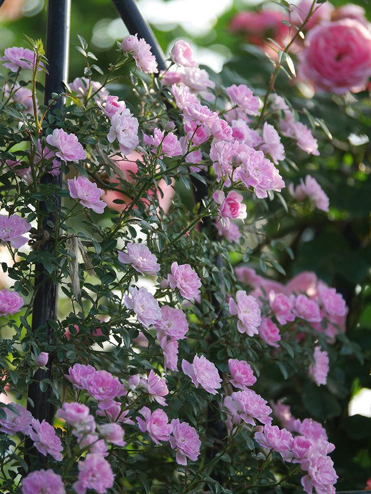 舞姫(ツルミニバラ)の花が満開になった。2020年-045.jpg