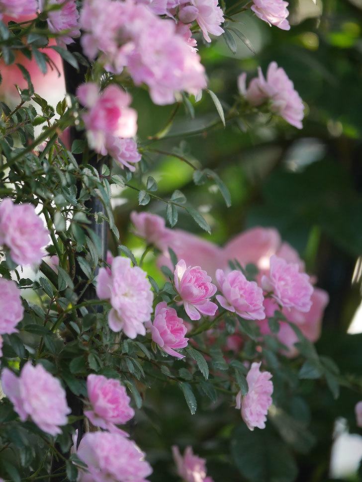 舞姫(ツルミニバラ)の花が満開になった。2020年-046.jpg