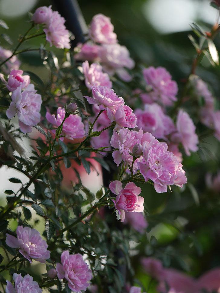 舞姫(ツルミニバラ)の花が満開になった。2020年-047.jpg
