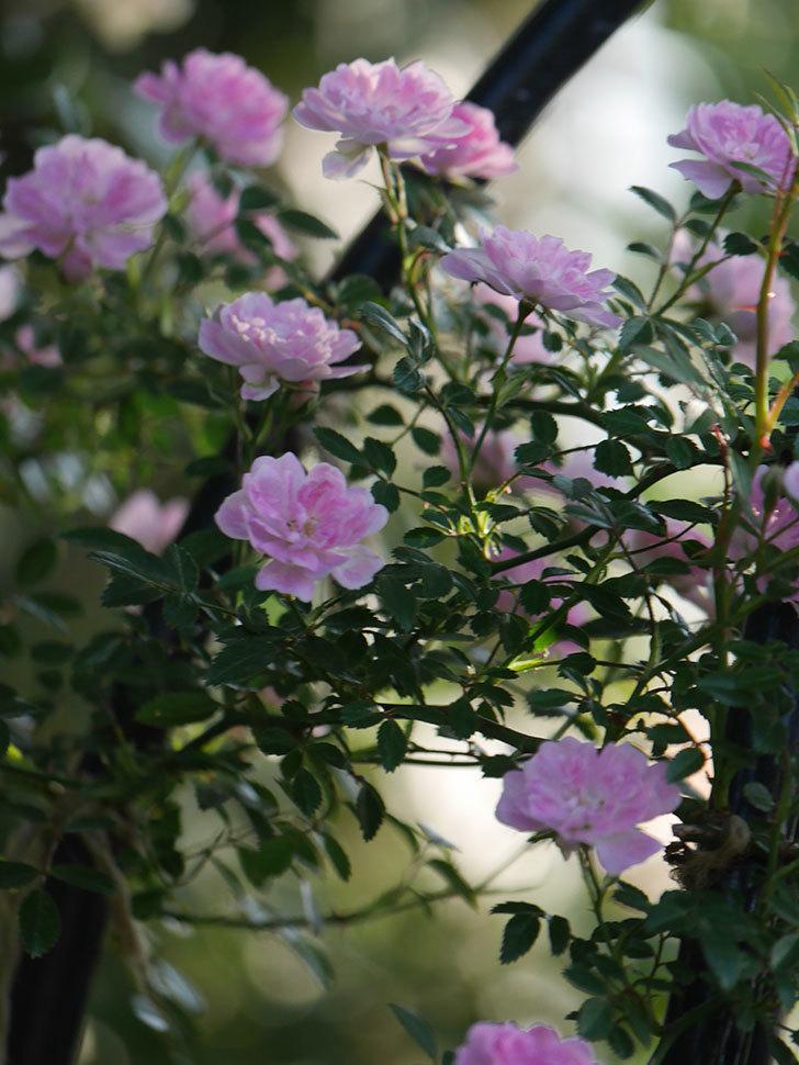 舞姫(ツルミニバラ)の花が満開になった。2020年-048.jpg