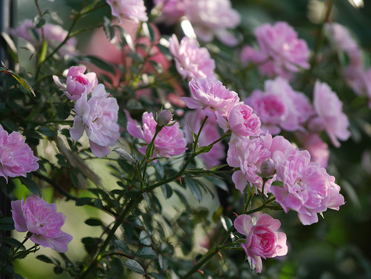舞姫(ツルミニバラ)の花が満開になった。2020年-049.jpg
