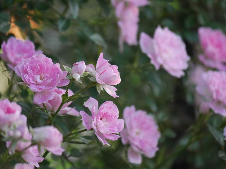 舞姫(ツルミニバラ)の花が満開になった。2020年-050.jpg