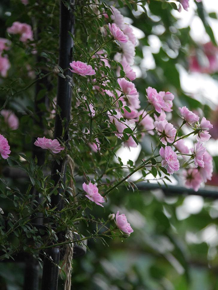 舞姫(ツルミニバラ)の花が満開になった。2020年-051.jpg