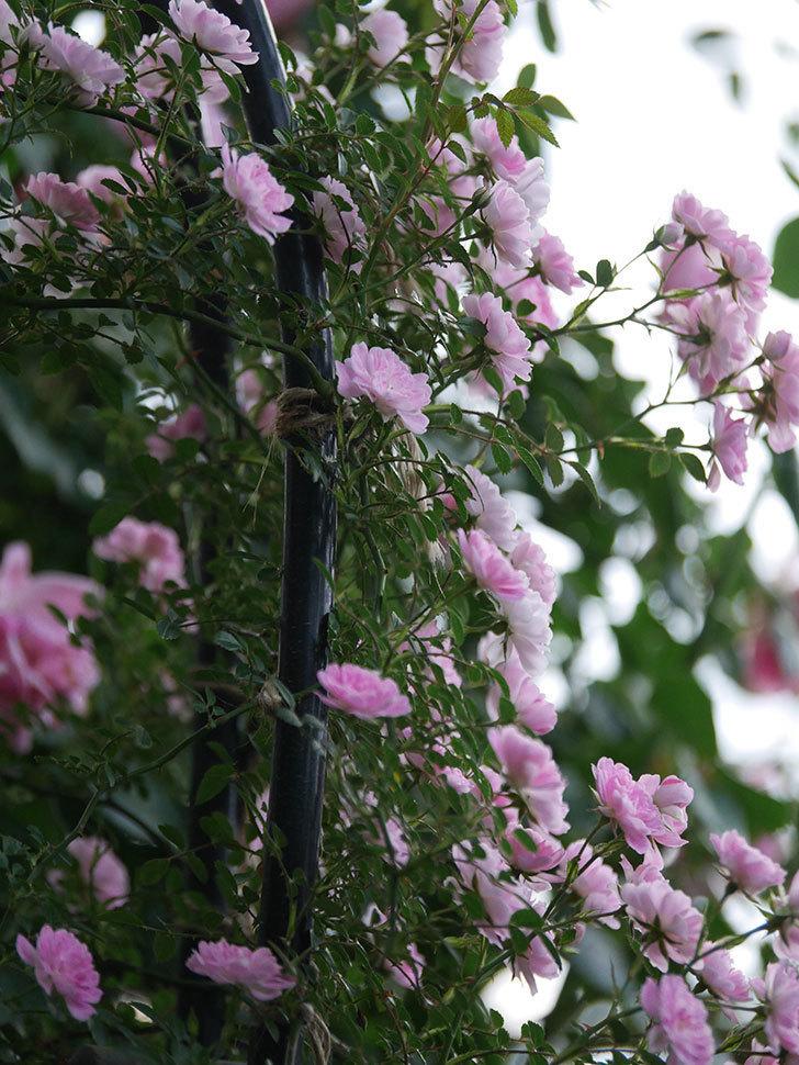 舞姫(ツルミニバラ)の花が満開になった。2020年-052.jpg