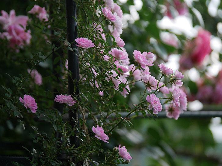 舞姫(ツルミニバラ)の花が満開になった。2020年-053.jpg