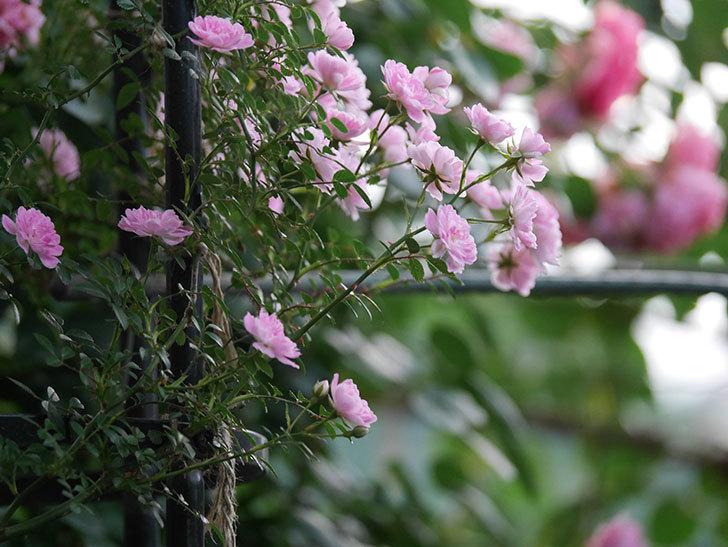 舞姫(ツルミニバラ)の花が満開になった。2020年-054.jpg