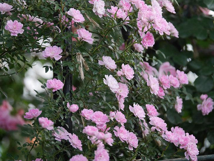 舞姫(ツルミニバラ)の花が満開になった。2020年-055.jpg