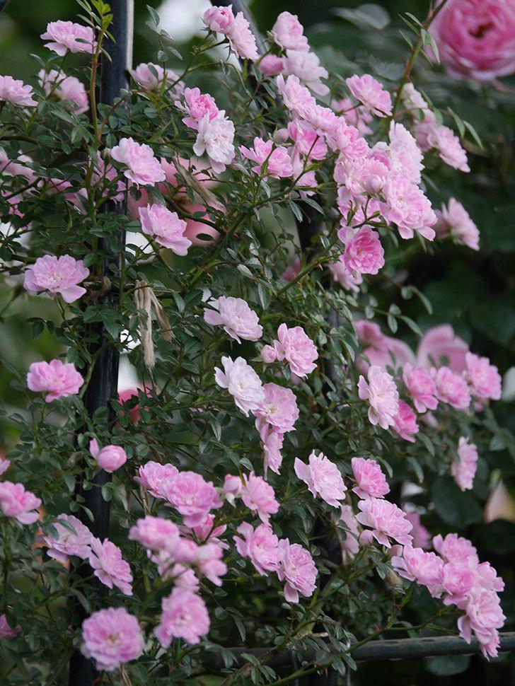 舞姫(ツルミニバラ)の花が満開になった。2020年-056.jpg