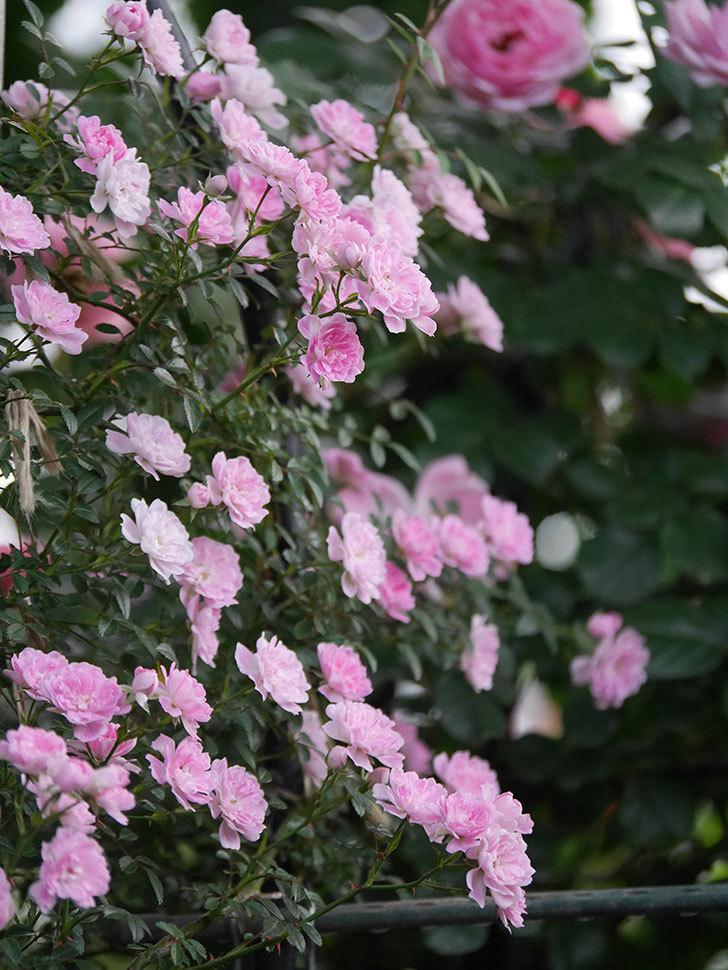 舞姫(ツルミニバラ)の花が満開になった。2020年-057.jpg