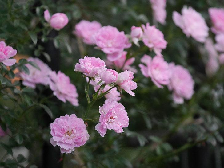 舞姫(ツルミニバラ)の花が満開になった。2020年-058.jpg