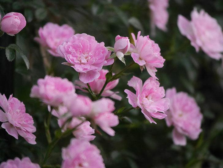 舞姫(ツルミニバラ)の花が満開になった。2020年-059.jpg
