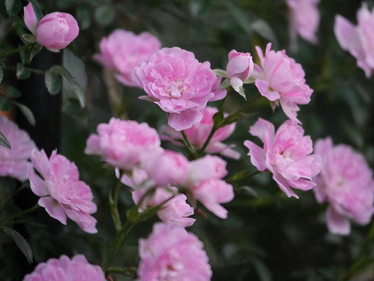 舞姫(ツルミニバラ)の花が満開になった。2020年-060.jpg