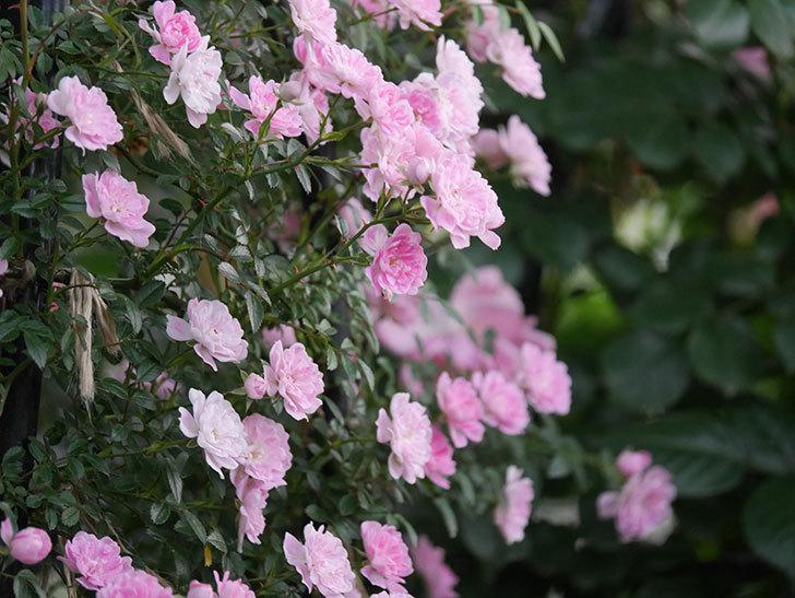 舞姫(ツルミニバラ)の花が満開になった。2020年-061.jpg