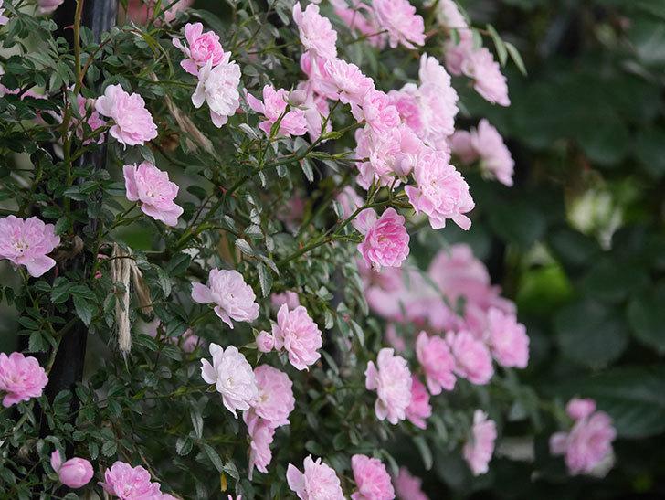 舞姫(ツルミニバラ)の花が満開になった。2020年-062.jpg