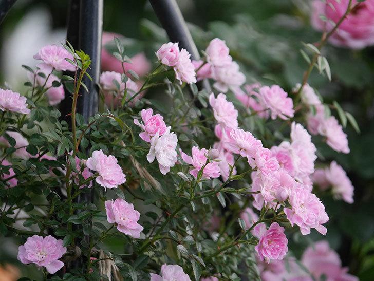 舞姫(ツルミニバラ)の花が満開になった。2020年-063.jpg