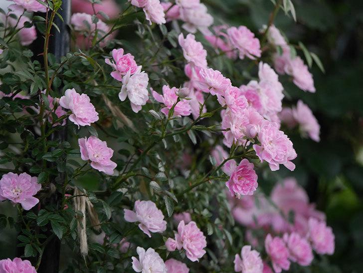 舞姫(ツルミニバラ)の花が満開になった。2020年-064.jpg