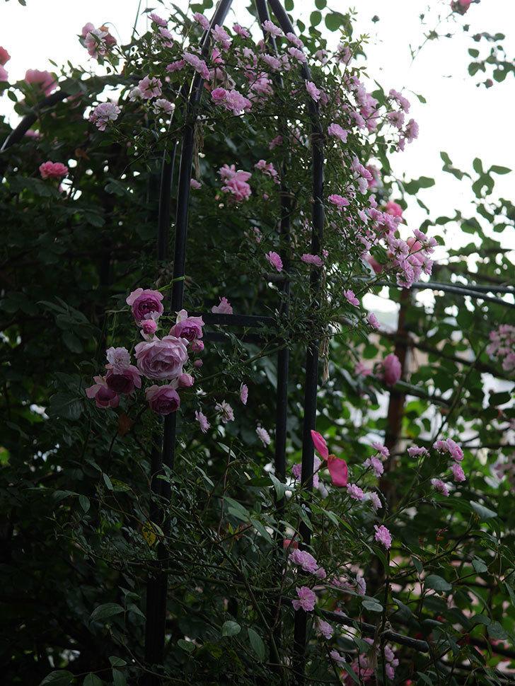 舞姫(ツルミニバラ)の花が満開になった。2020年-065.jpg