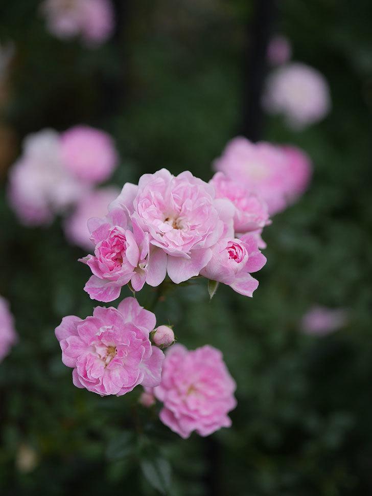 舞姫(ツルミニバラ)の花が満開になった。2020年-066.jpg