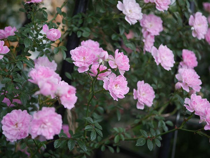 舞姫(ツルミニバラ)の花が満開になった。2020年-067.jpg