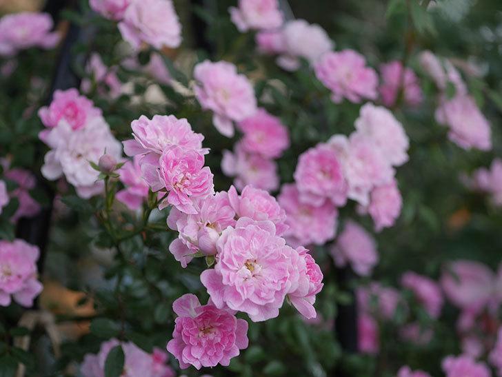 舞姫(ツルミニバラ)の花が満開になった。2020年-068.jpg