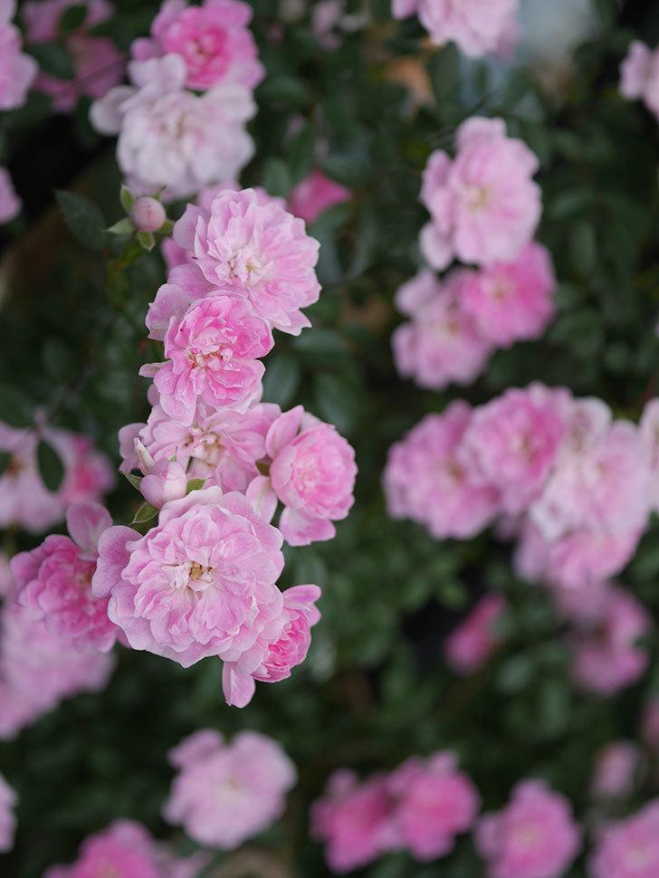 舞姫(ツルミニバラ)の花が満開になった。2020年-069.jpg