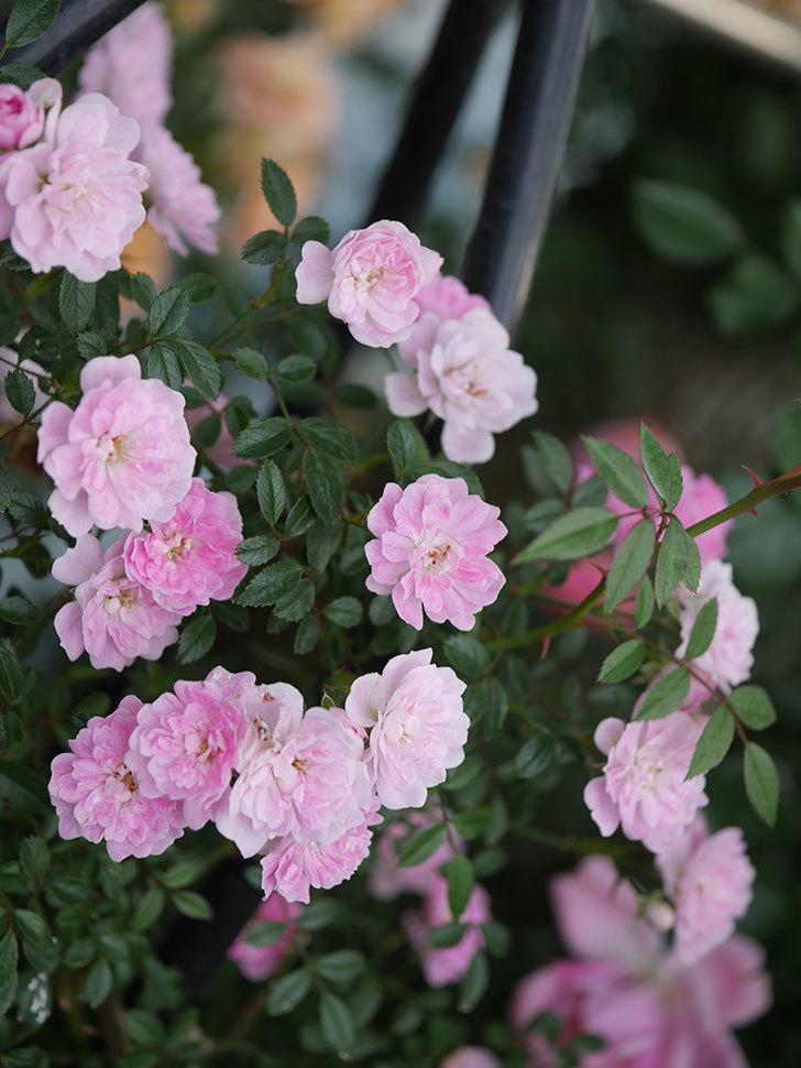 舞姫(ツルミニバラ)の花が満開になった。2020年-070.jpg