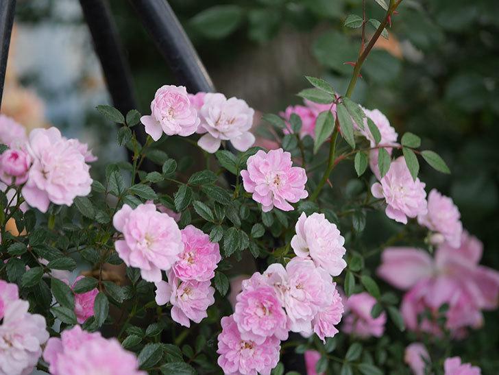 舞姫(ツルミニバラ)の花が満開になった。2020年-071.jpg