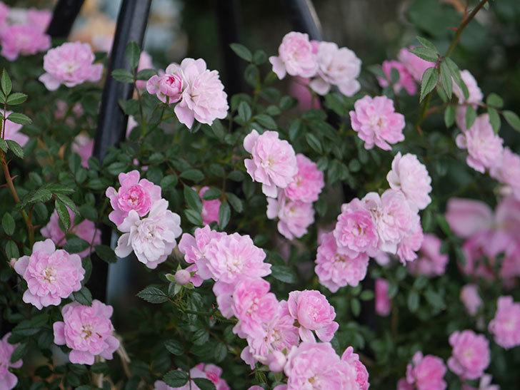 舞姫(ツルミニバラ)の花が満開になった。2020年-072.jpg