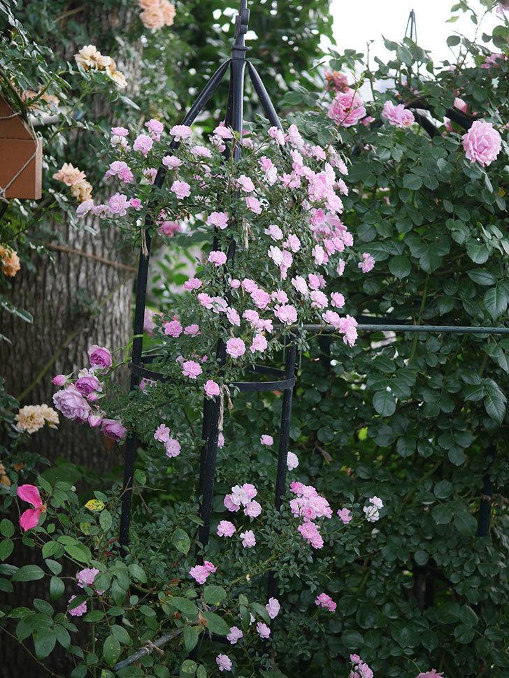 舞姫(ツルミニバラ)の花が満開になった。2020年-073.jpg