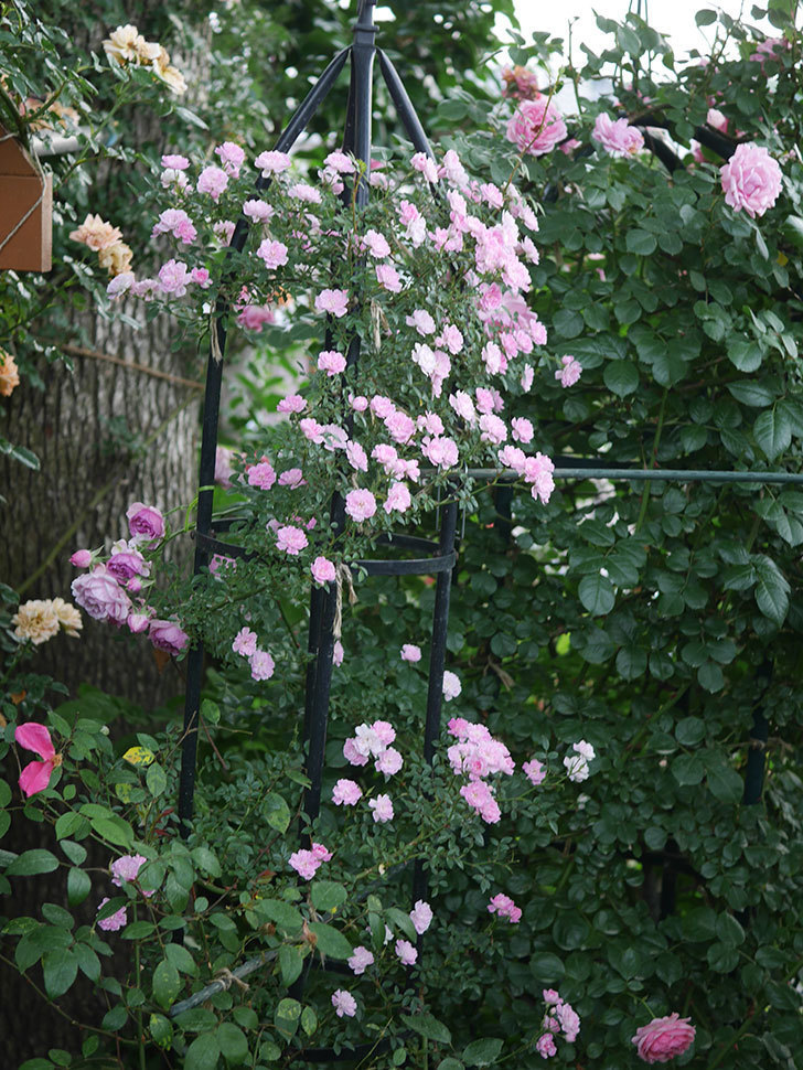 舞姫(ツルミニバラ)の花が満開になった。2020年-074.jpg