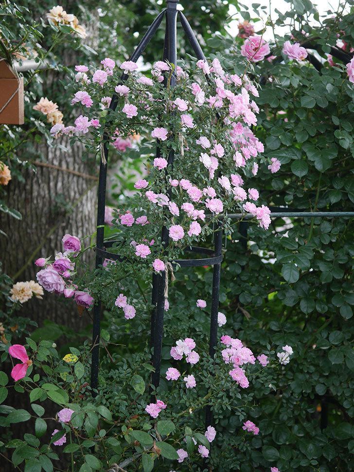 舞姫(ツルミニバラ)の花が満開になった。2020年-075.jpg