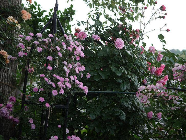 舞姫(ツルミニバラ)の花が満開になった。2020年-076.jpg