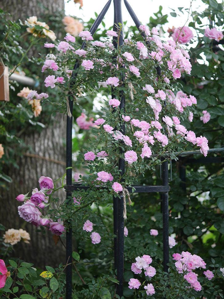 舞姫(ツルミニバラ)の花が満開になった。2020年-077.jpg