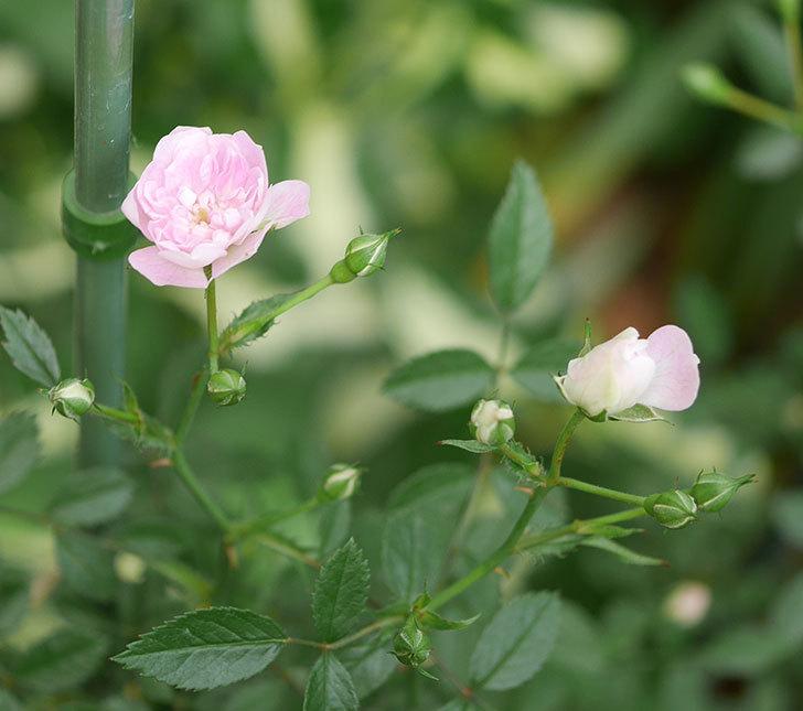 舞姫(ミニバラ)の花が咲きだした。2019年-1.jpg