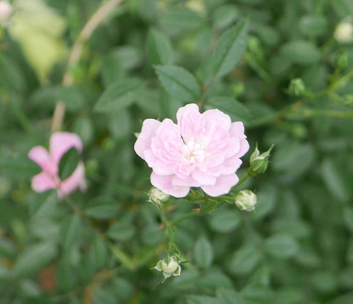 舞姫(ミニバラ)の花が咲きだした。2019年-2.jpg
