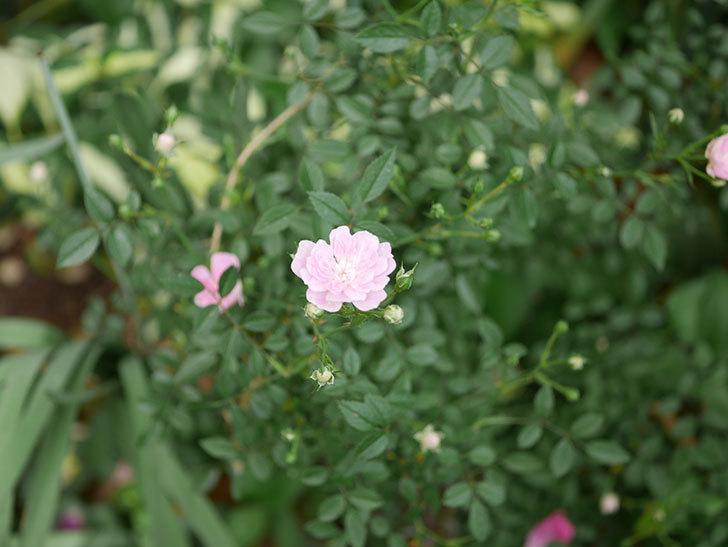 舞姫(ミニバラ)の花が咲きだした。2019年-3.jpg