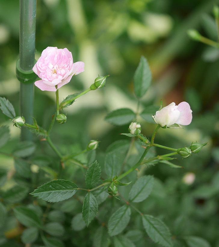 舞姫(ミニバラ)の花が咲きだした。2019年-4.jpg