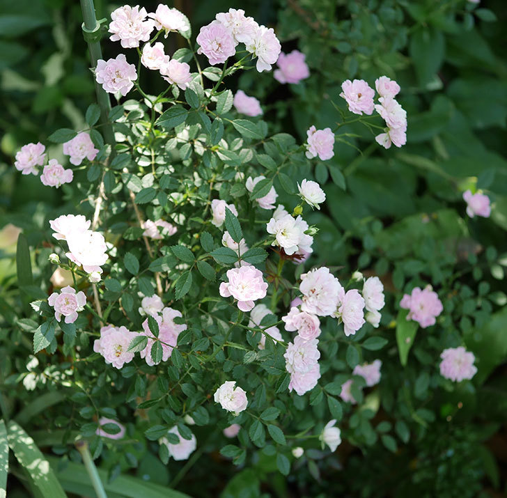 舞姫(ミニバラ)の花が増えて来た。2019年-1.jpg