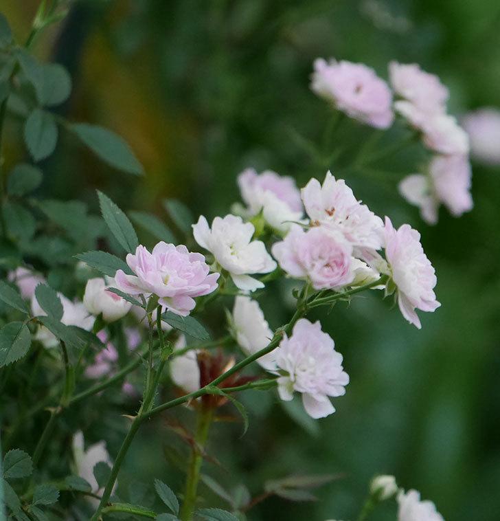 舞姫(ミニバラ)の花が増えて来た。2019年-10.jpg