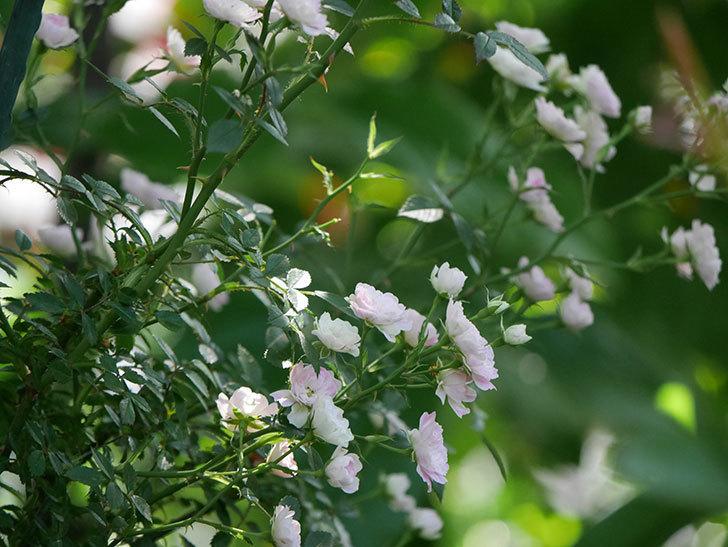 舞姫(ミニバラ)の花が増えて来た。2019年-11.jpg