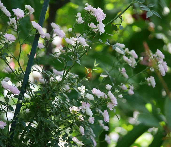 舞姫(ミニバラ)の花が増えて来た。2019年-12.jpg