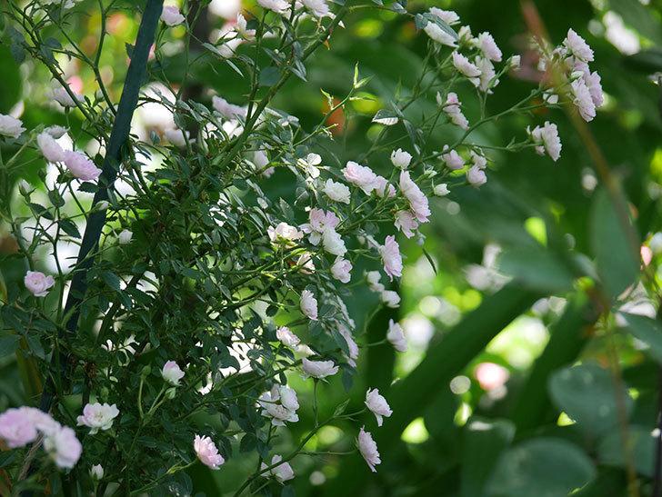 舞姫(ミニバラ)の花が増えて来た。2019年-13.jpg